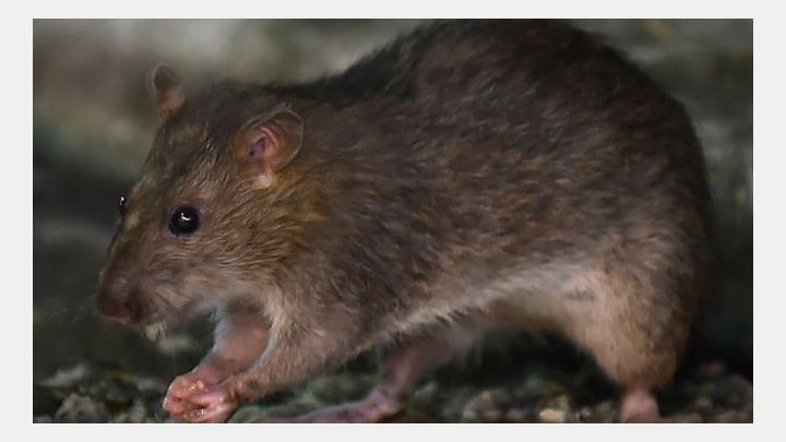 Coronavirus: Hungry rats occupy the streets. PHOTO