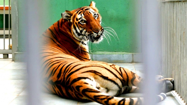 PHOTO GALLERY. How does a tiger who's infected with COVID-19 feel now?