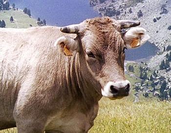 VIDEO: Valsts Prezidents govju kūtī cīnās par lopu naktsmieru, labklājību un veselību
