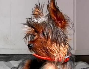 Šokējoša attieksme pret šķirnes suņiem Mārupē, kas izsaukusi vairāku dzīvnieku nāvi